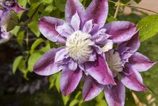 Clematis, Flower In The Sunlight Royalty Free Stock Photography