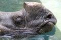 Free Rhinosaurus Royalty Free Stock Photo - 31968515