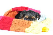 Free Little Yorkshire Puppy In Scarf Stock Photography - 31960212