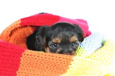 Free Little Yorkshire Puppy In Scarf Royalty Free Stock Image - 31960236