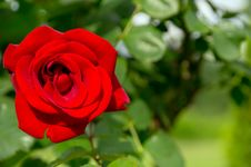 Free Flower Rose, Close-up In Nature Stock Photos - 31963423