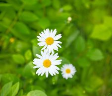 Free Camomiles On A Green Meadow Royalty Free Stock Images - 31963759