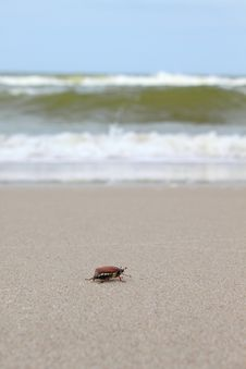 Free Chafer Creeps Along The Beach To The Sea Royalty Free Stock Photo - 31963985