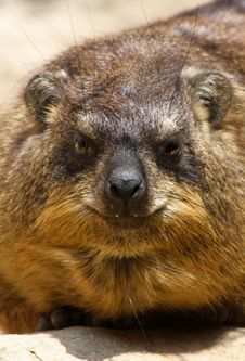 Free Hyrax Stock Images - 31967294