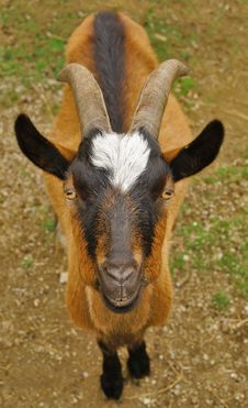Free Brown Goat Portrait Royalty Free Stock Image - 31967596