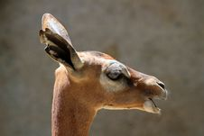 Free Gerenuk Royalty Free Stock Photos - 31967878