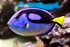 Free Blue Tang - Paracanthursus Hepatus Royalty Free Stock Image - 31971526
