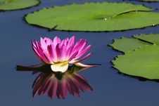 Free Lotus Flower With Reflection Stock Image - 31971971