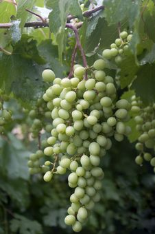 Free Unripe Bunch Of Grapes Royalty Free Stock Photography - 31984547