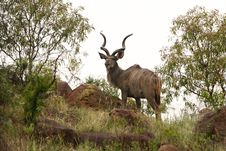Free Kudu Stock Photo - 31987220