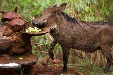 Warthog Eating Stock Photos