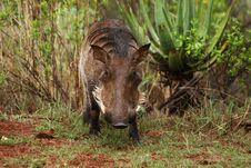 Free Warthog Royalty Free Stock Photo - 31987265