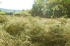 Free Haymaking In June, Fresh Hay Royalty Free Stock Photos - 31987888
