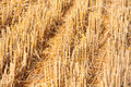 Free Cutted Wheat Field Soil Plant Royalty Free Stock Images - 31991279