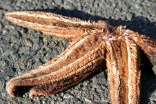 Free Dead Starfish Royalty Free Stock Photography - 320127