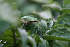 Pacific Tree Frog - 2 Royalty Free Stock Image