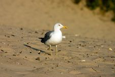Free Seagull Stock Image - 321101
