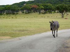 Free Zebra In The Road Stock Photos - 321653