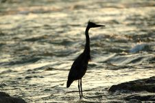 Free Angry Great Blue Heron Silhouette Stock Photo - 322550