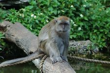 Free Old Female Macaque Stock Photography - 322572