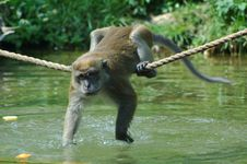 Free Young Java Macaque Stock Photos - 322573