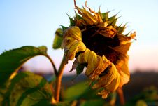 Free Old Sunflower Royalty Free Stock Photo - 322745