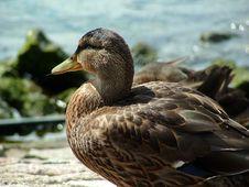 Free Duck Stock Photo - 323600