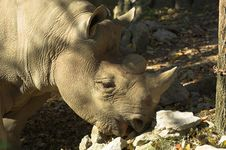 Rhinoceros Grazing Stock Photos