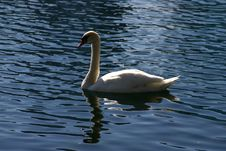 Free White Swan Royalty Free Stock Photo - 324855