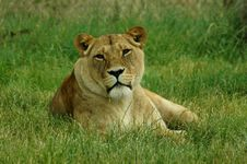 Free Lioness Stock Photos - 327683