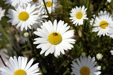 Free Daisies With Bee. Royalty Free Stock Photos - 327948