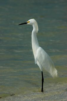 Free Snowy Egret At Surf Line Stock Photo - 328340