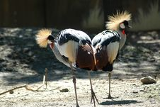 Free Royal Cranes Stock Photos - 329363