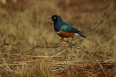 Free Superb Starling Royalty Free Stock Photo - 329925