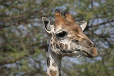 Free Giraffe Stock Photography - 329932