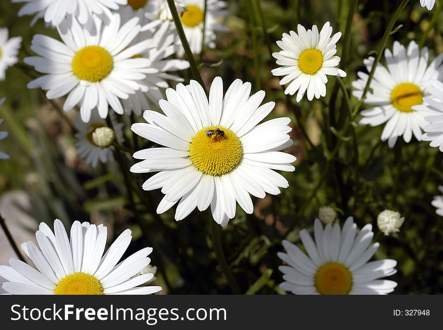 Daisies with bee.