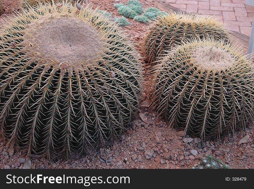 Ballcactus