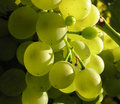 Free Grape 03 Stock Photography - 3200412