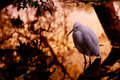 Free Snowy Egret Stock Images - 3208604