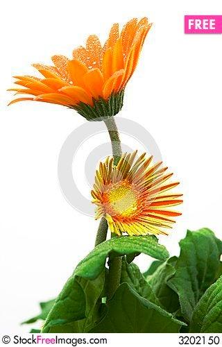 Free Orange Gerber Daisy Stock Photo - 3202150