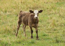 Free Standing Calf Stock Photos - 3200023