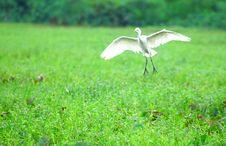 Free Egret Landing Stock Photography - 3200452