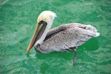Free Pelican Swimming Stock Image - 3201031