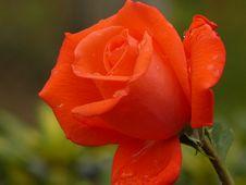 Free Raindrops On Rose Stock Photo - 3201060
