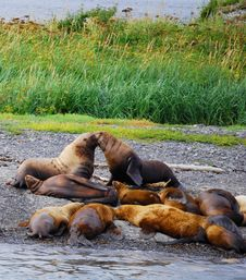 Free Sea Lions Rubbing Noses Royalty Free Stock Images - 3201449