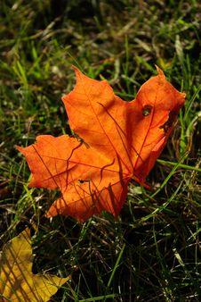 Free Autumn Maple Leaf Royalty Free Stock Images - 3201569