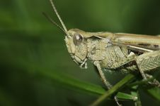 Free Grasshopper Royalty Free Stock Images - 3201629