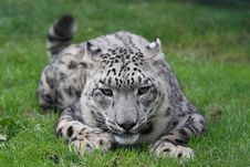 Free Snow Leopard Crouching Royalty Free Stock Photo - 3202135