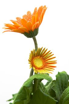 Free Orange Gerber Daisy Stock Photo - 3202150