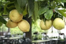 Free Lemon Tree Stock Image - 3203071